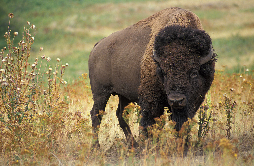 1024px-American_bison_k5680-1