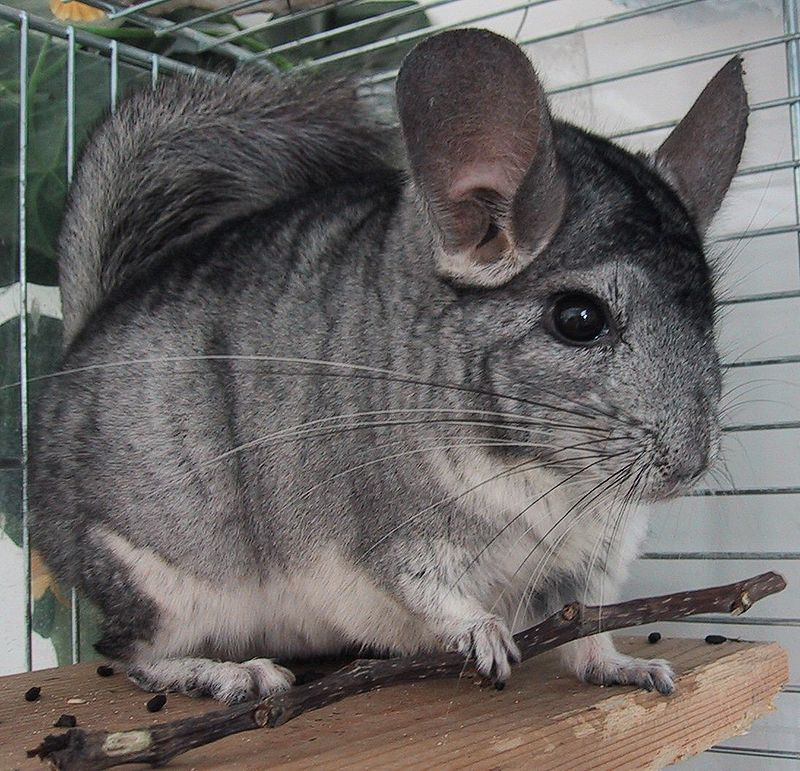 800px-Chinchilla-Patchouli