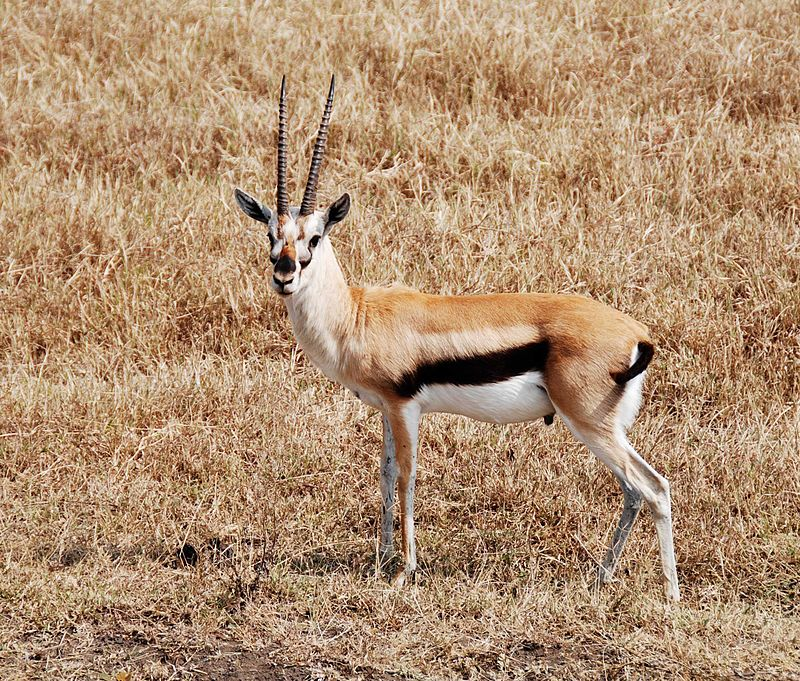 800px-Thompson_gazelle